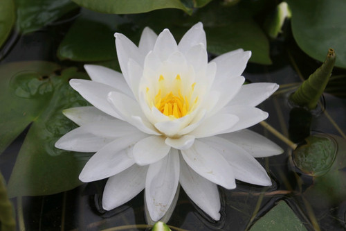 Nymphaea Perry's Double White - Water Lily