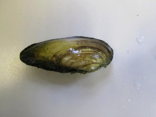 Painter mussels