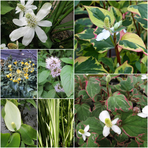 Scented Marginal Plant Collection