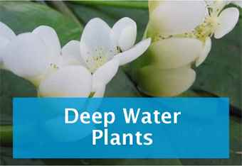 buy-deep-water-plants.jpg