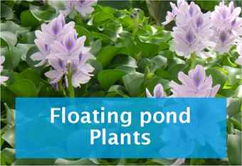 buy-floating-pond-plants.jpg