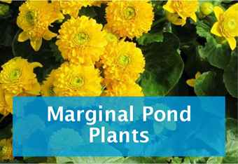 buy-marginal-pond-plants.jpg