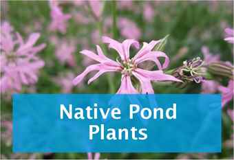 buy-native-pond-plants.jpg