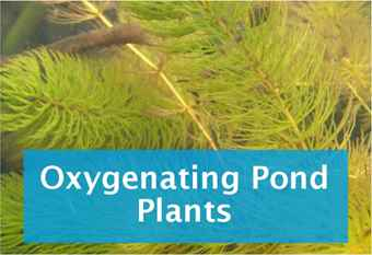 buy-oxygenating-pond-plant-and-bunches-1.jpg