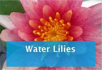 buy-water-lily.jpg