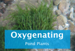 oxygenating-pond-plants.png