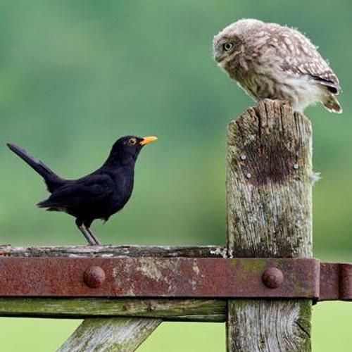 Little Owl meets Blackbird Greeting Card