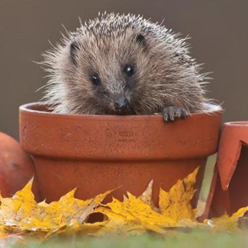 Hedgehog in Plant Pot Greeting Card