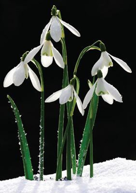 Snowdrops Photographic Card