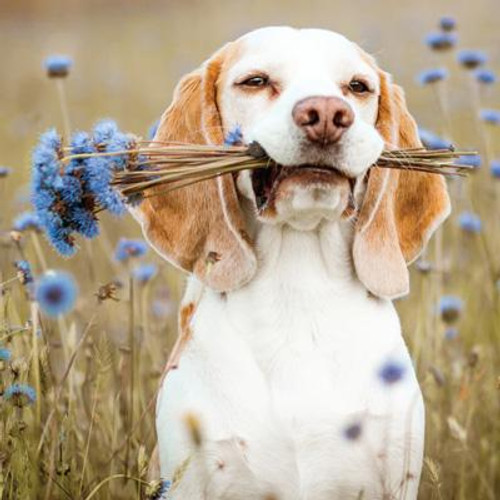 Beagle with Flowers Greeting Card