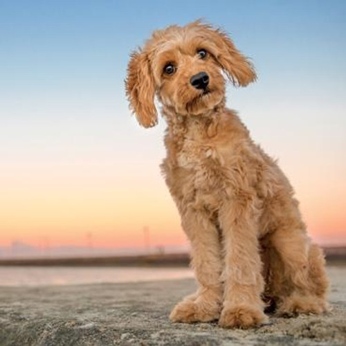 Dutchie the Cavoodle Greeting Card