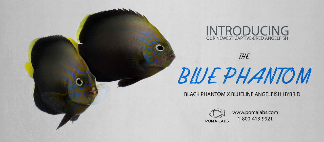 Introducing the Blue Phantom Angelfish