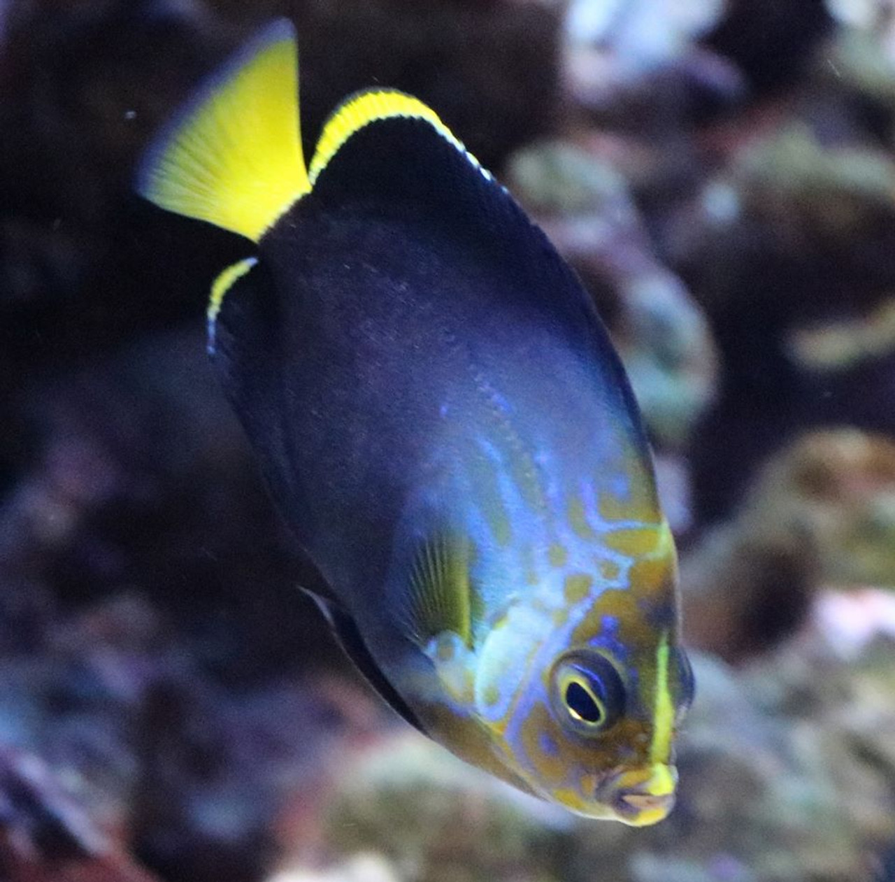 Blue Phantom Angelfish Photo Update