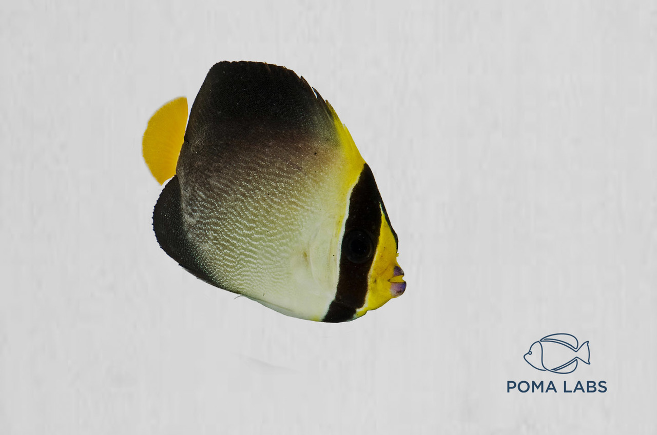 Captive-Bred Singapore Angelfish