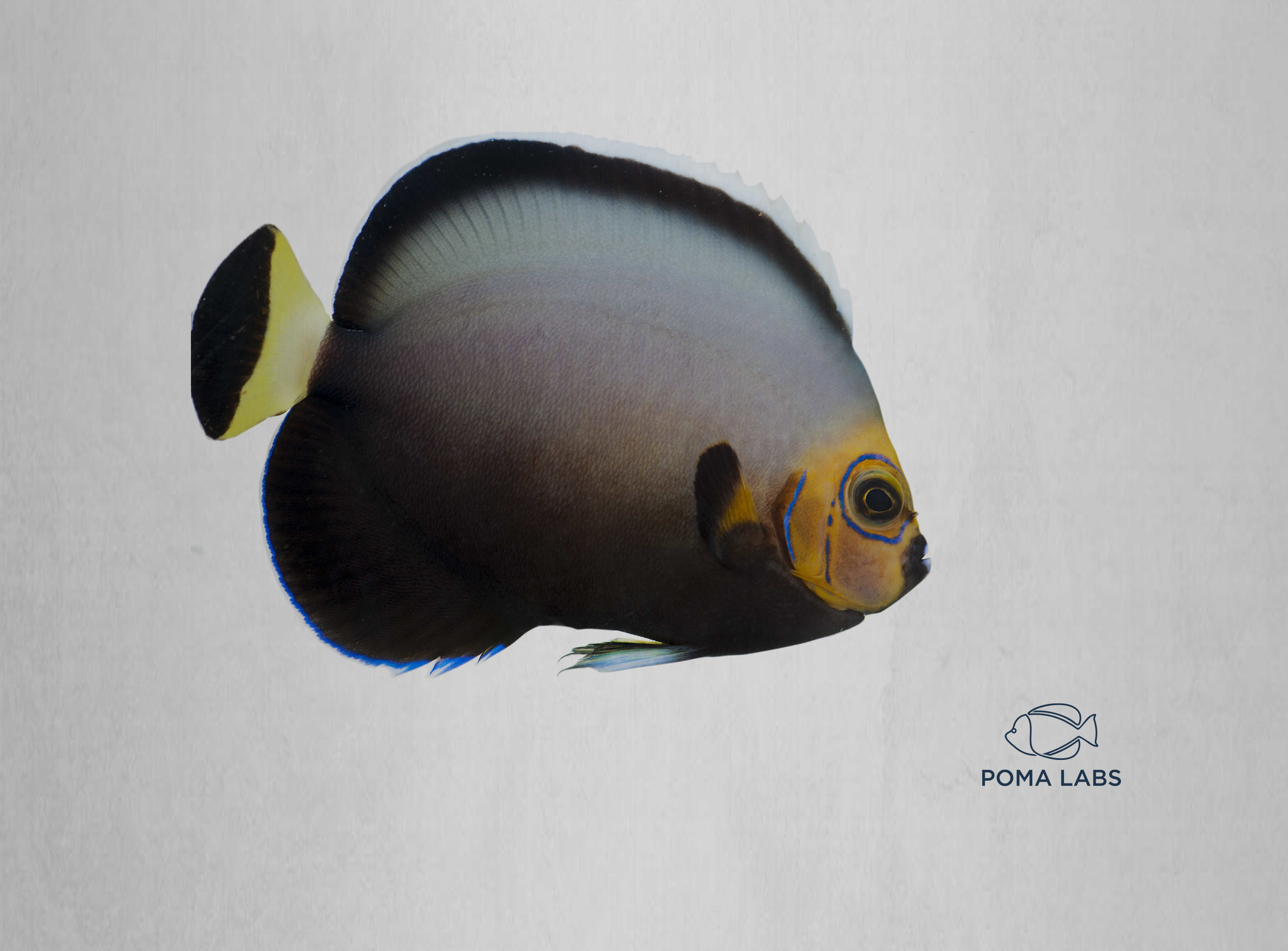 Captive-Bred Conspicuous Angelfish