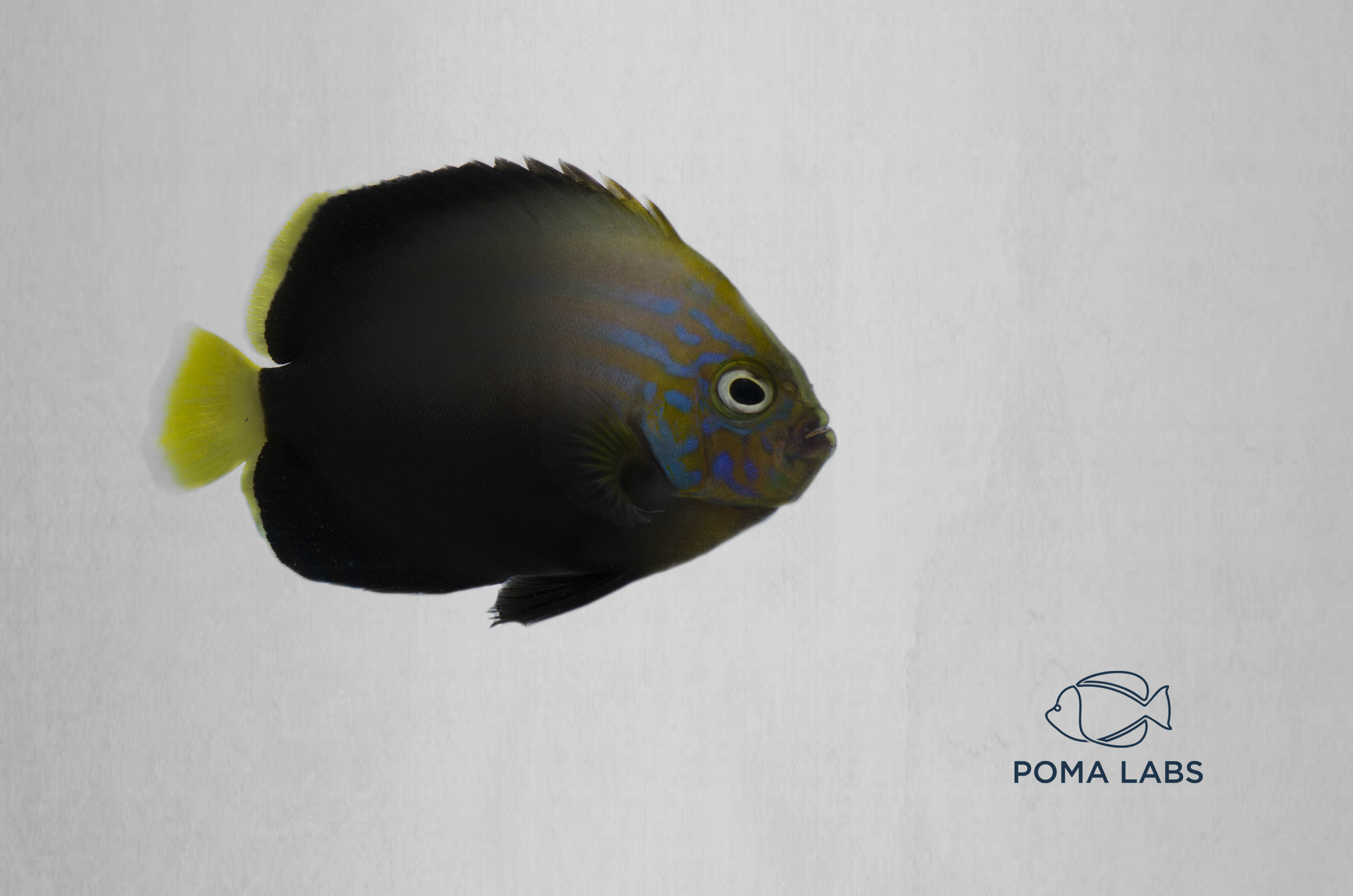 Captive-Bred Blue Phantom Angelfish