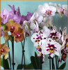 Phalaenopsis Orchid - Mother's Day