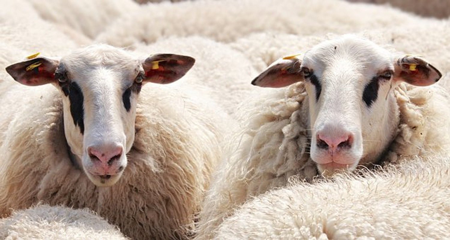 13 Interesting and Fun Facts about Merino Wool
