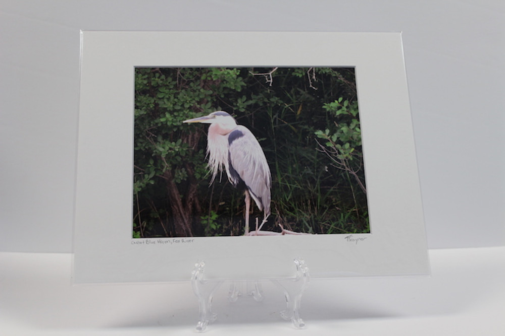 Pre-matted White - Great Blue Heron, Fox River - 2