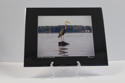 Pre-matted Black - Great Blue Heron, Grass Lake