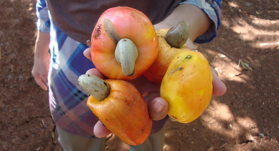 cashew nuts_nuts from the farm