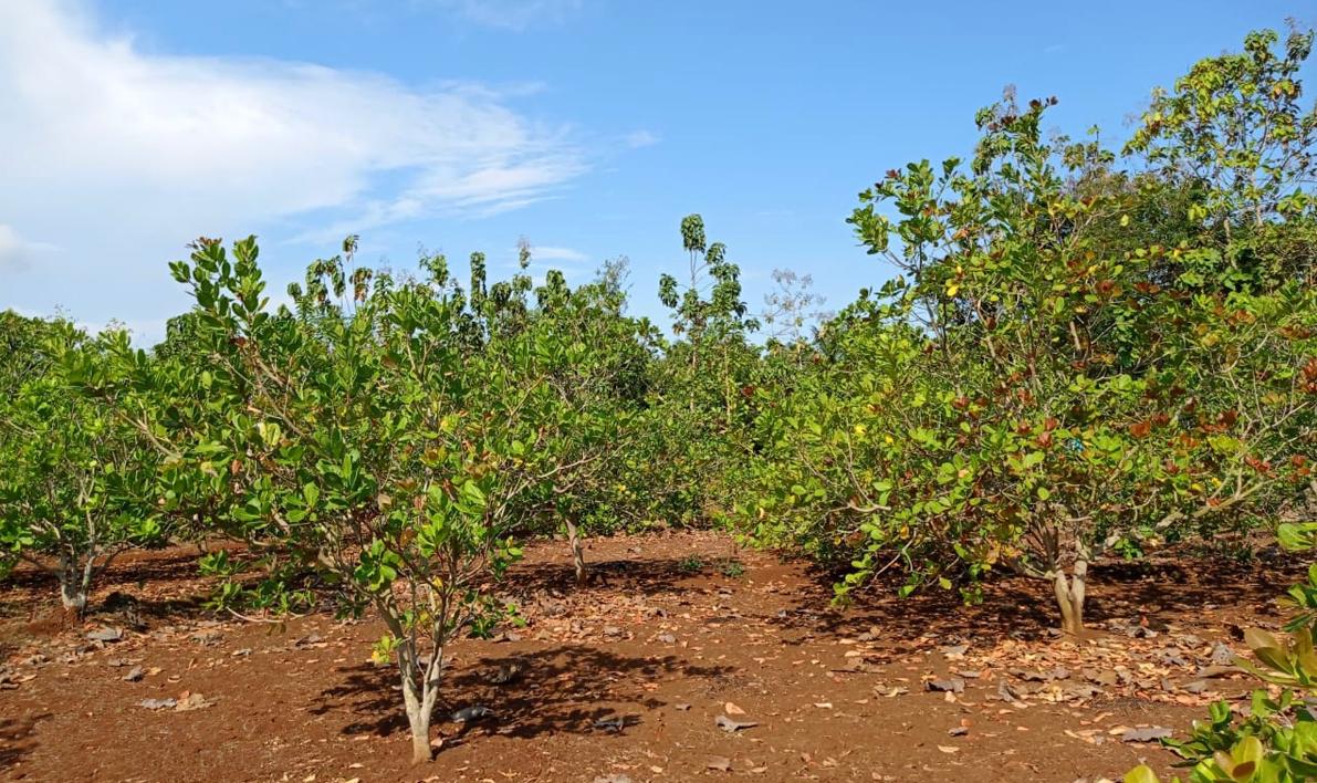 cashew farm_indonesian cashew