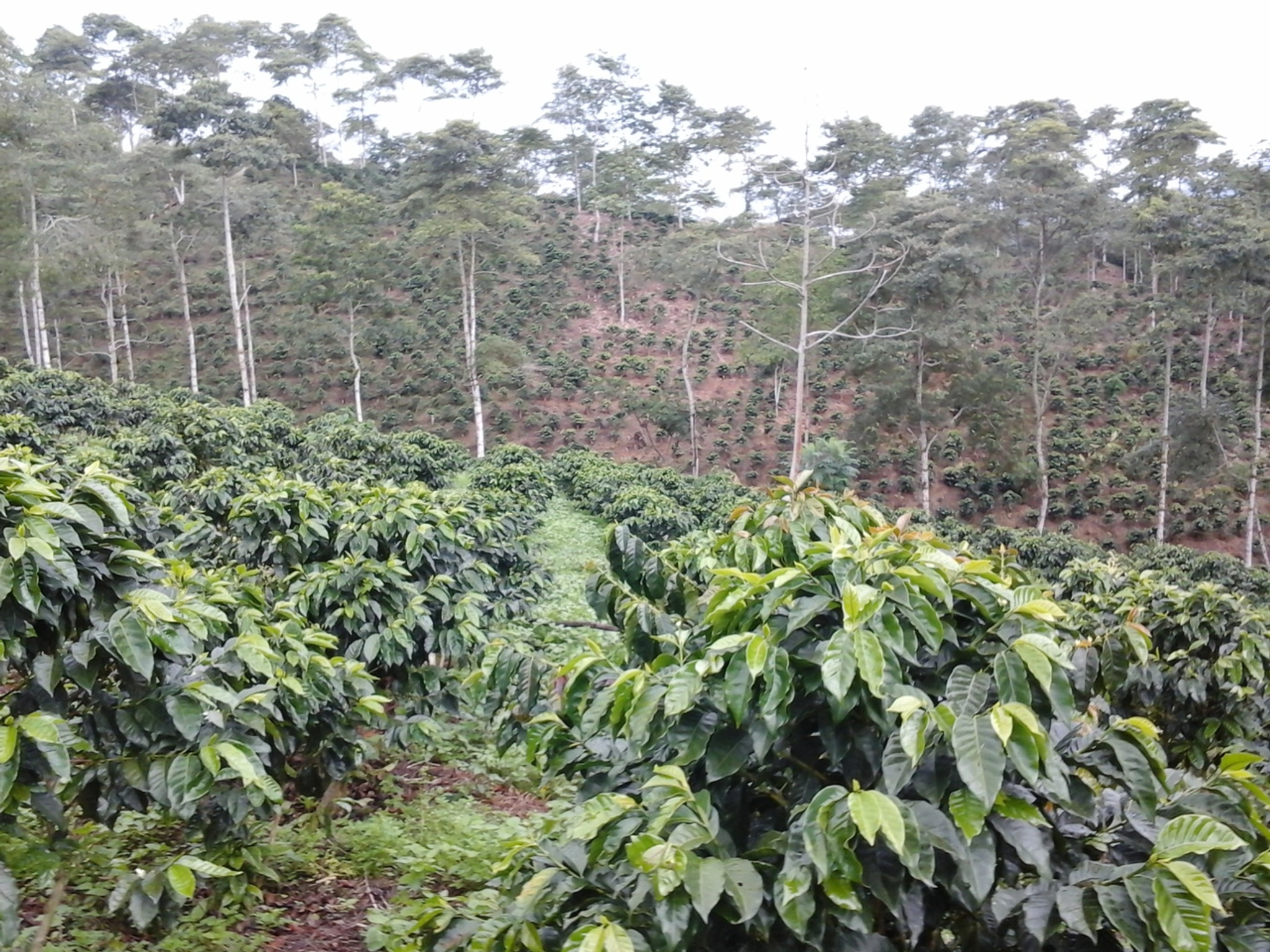 Finca San Luis Anaerobic Honey