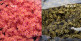 Frozen North Fly Fishing Chewing Gum Worm Chenille (3mm)