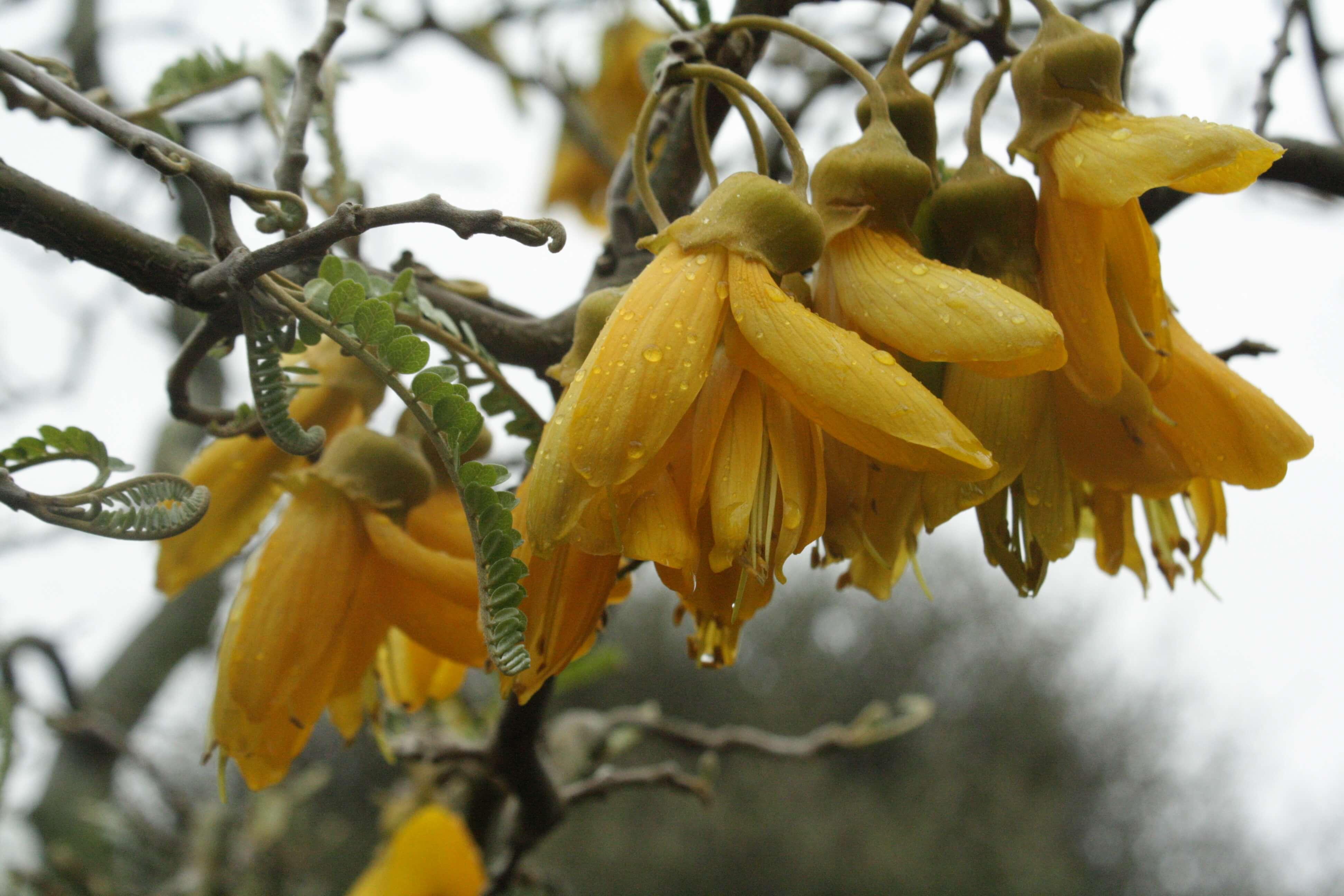 13.kowhai-flowers.jpg