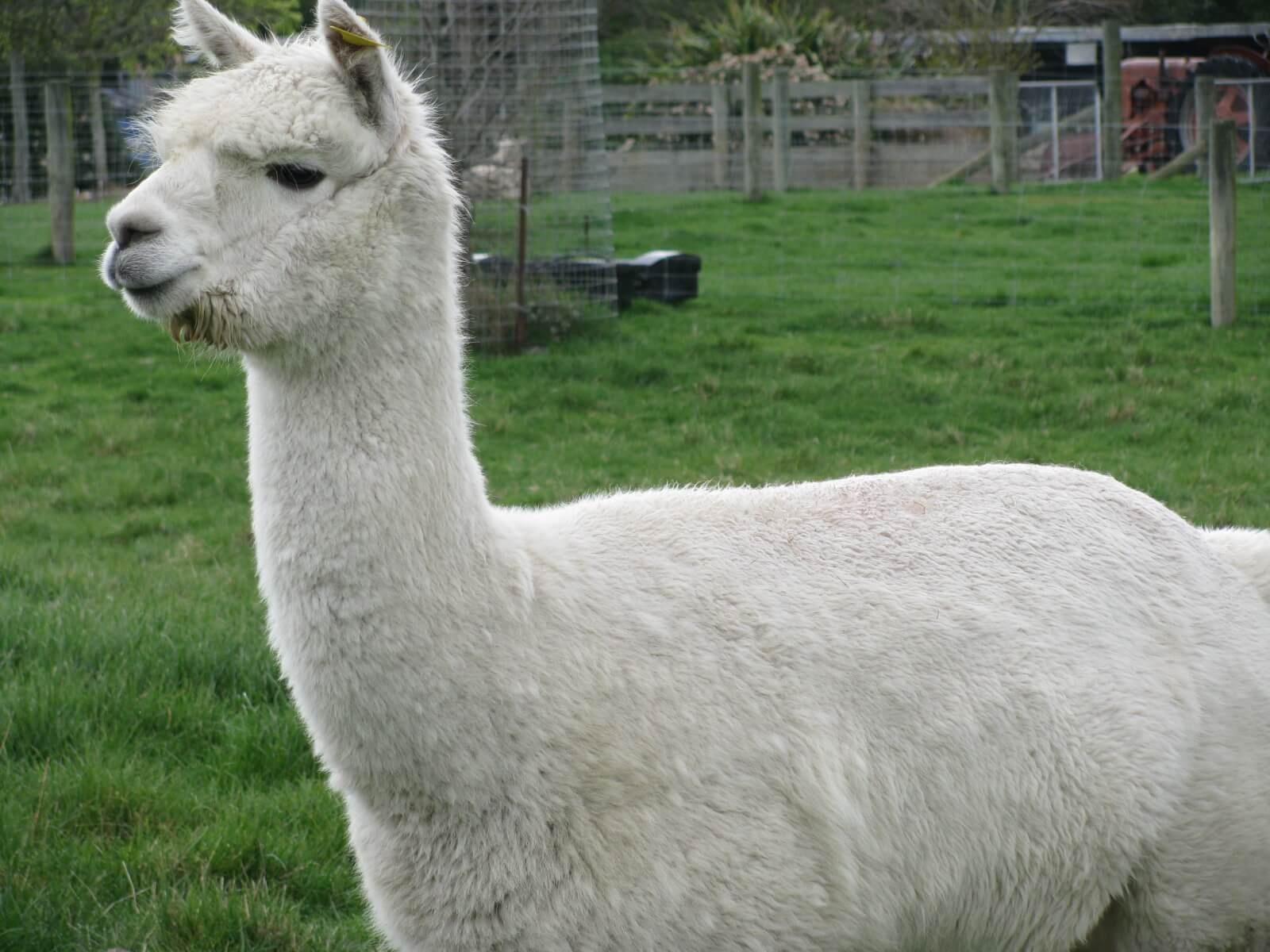 2.-hadley-our-white-alpaca.jpg