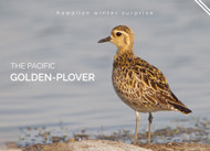 The Pacific Golden Plover- A Delightful Native Hawaiian Bird