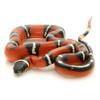 Abberant Nelson Milk Snake (Lampropletis triangulum)