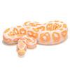 Albino Black Pastel Ball Python 1
