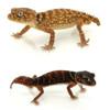 Knob Tail Gecko