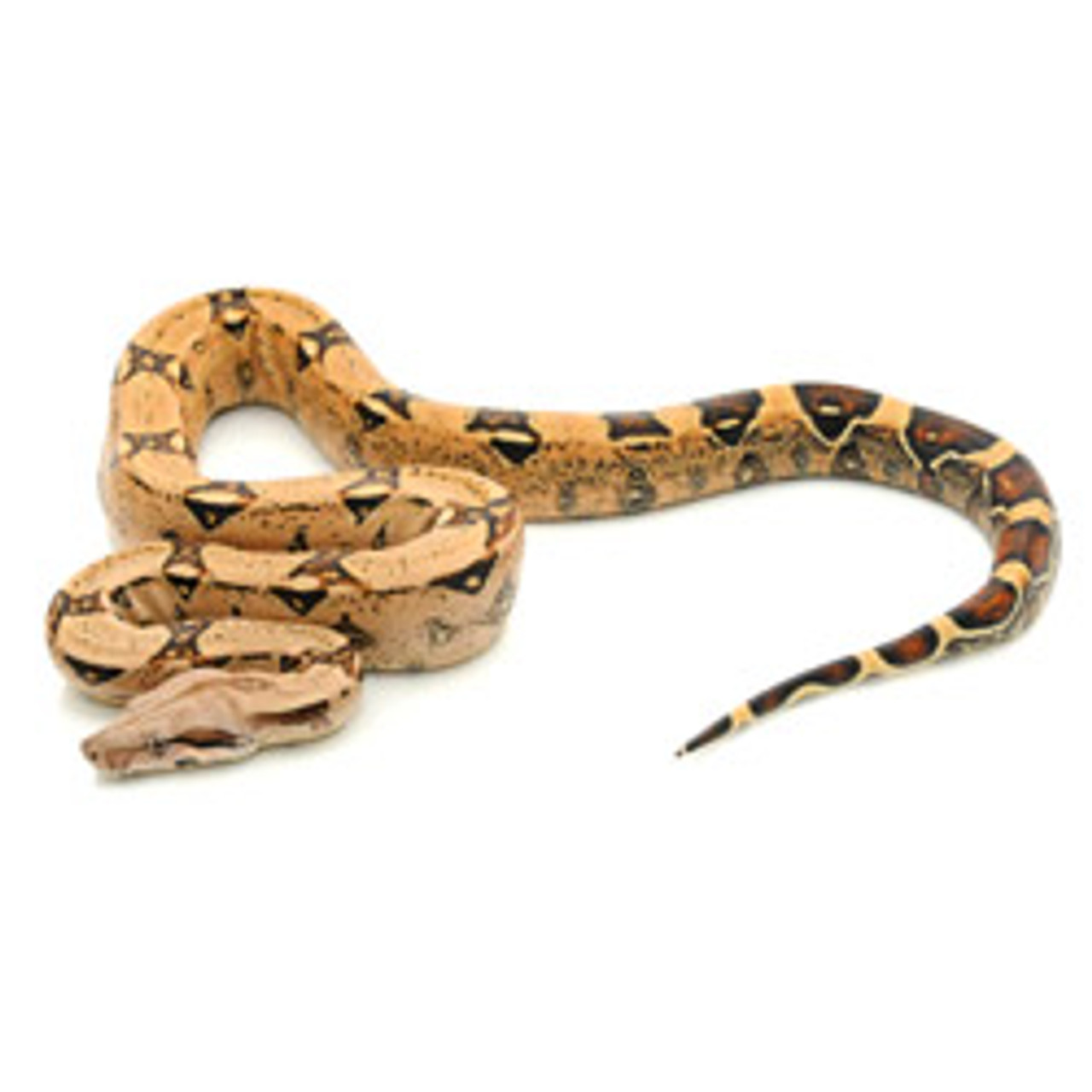 Pink Pastel Colombian Redtail Boa (Boa constrictor)