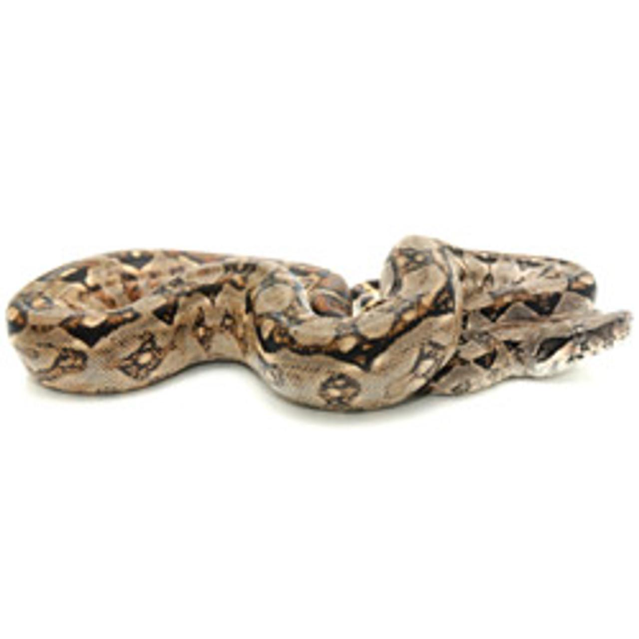 Central American Boa (Boa constrictor)