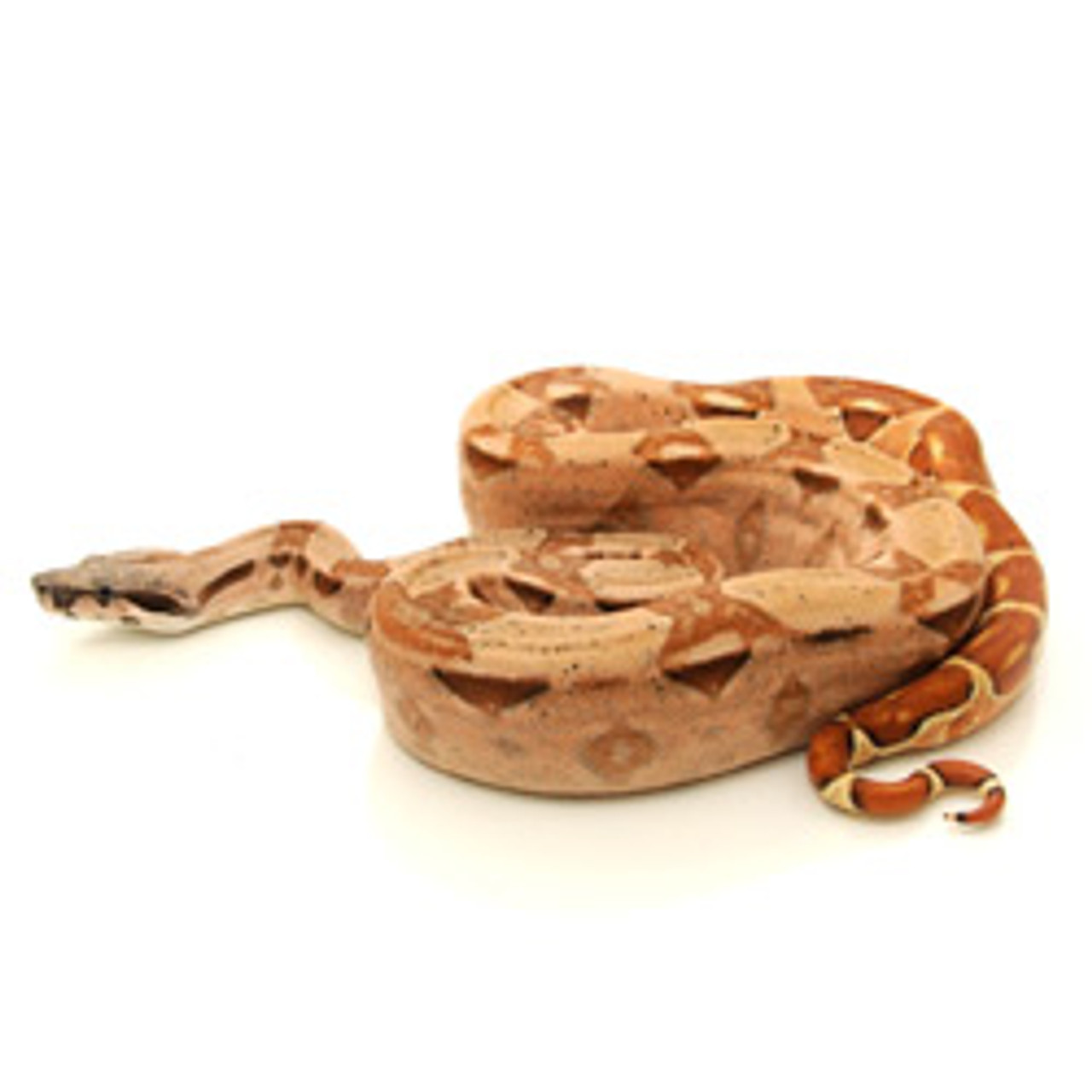 Hypo Boa For Sale From Reptmart Com