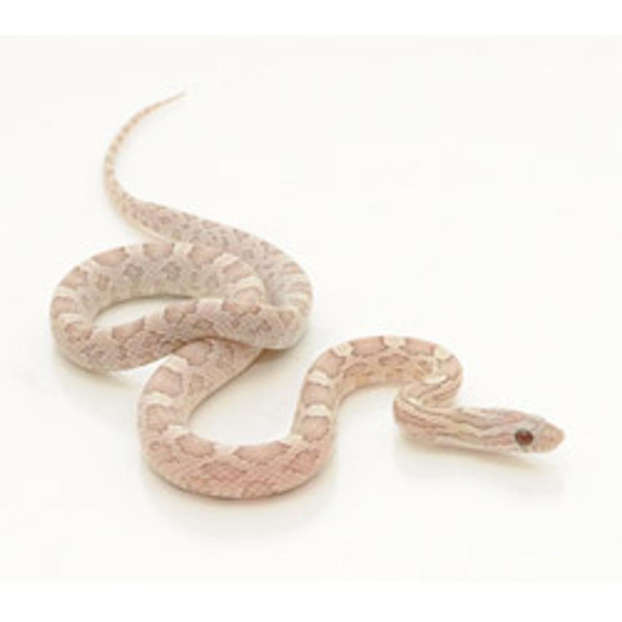 Caramel Lavender Corn Snake (Pantherophis guttata)
