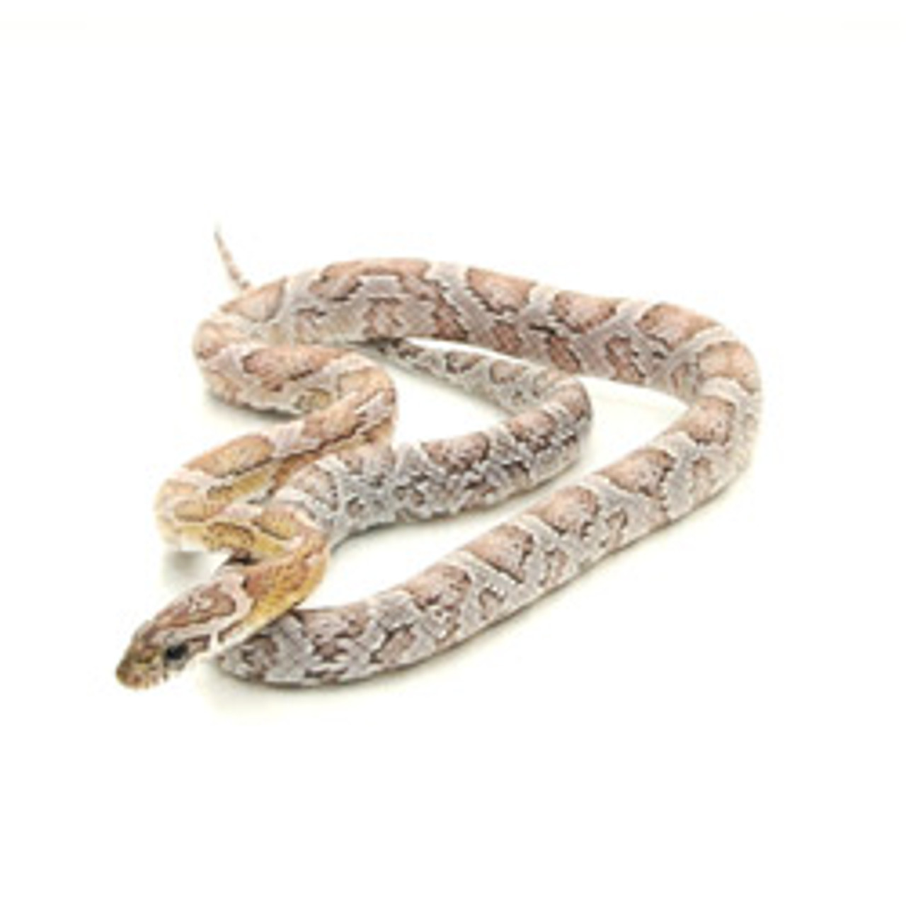Anery Sunkissed Het Silver Queen Corn Snake (Pantherophis guttata)