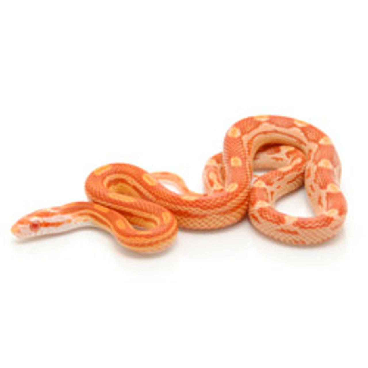 Albino Motley Corn Snake (Pantherophis guttata)