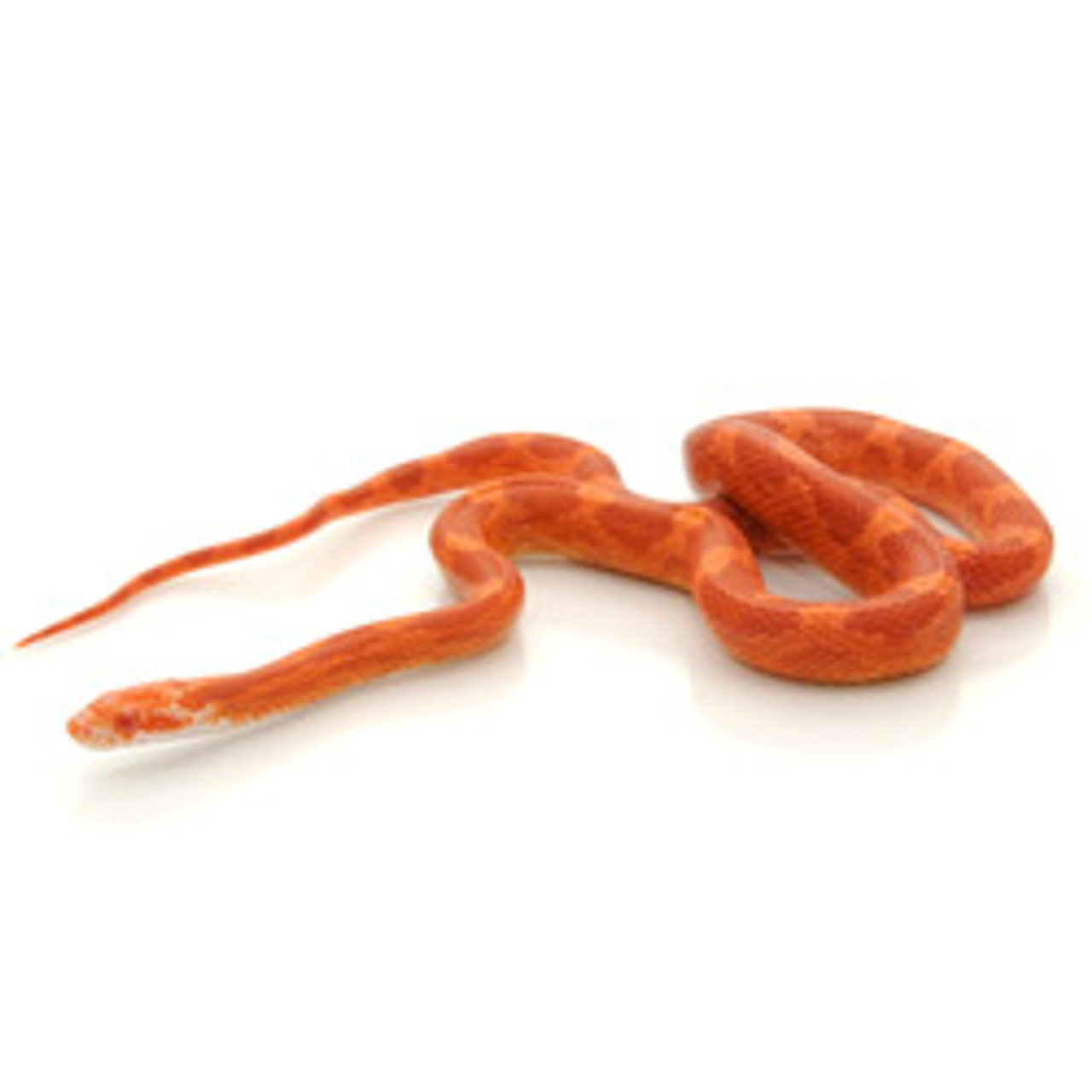 Albino Bloodred Corn Snake (Pantherophis guttata)