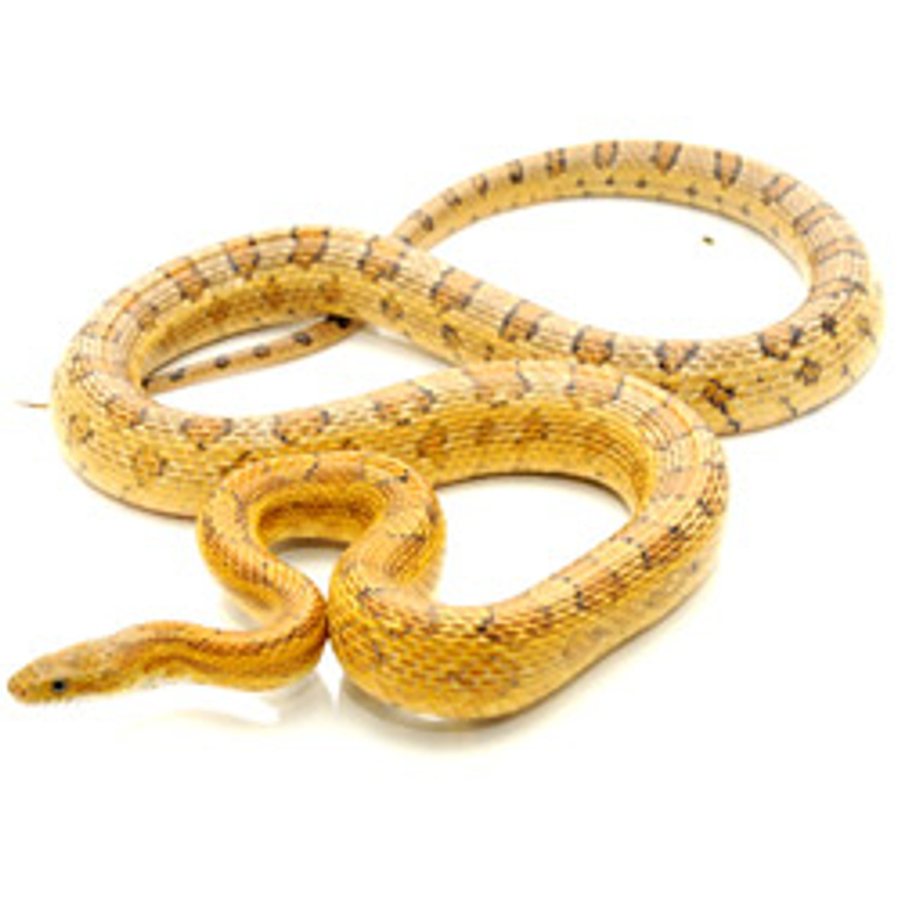 Caramel Corn Snake (Pantherophis guttata)