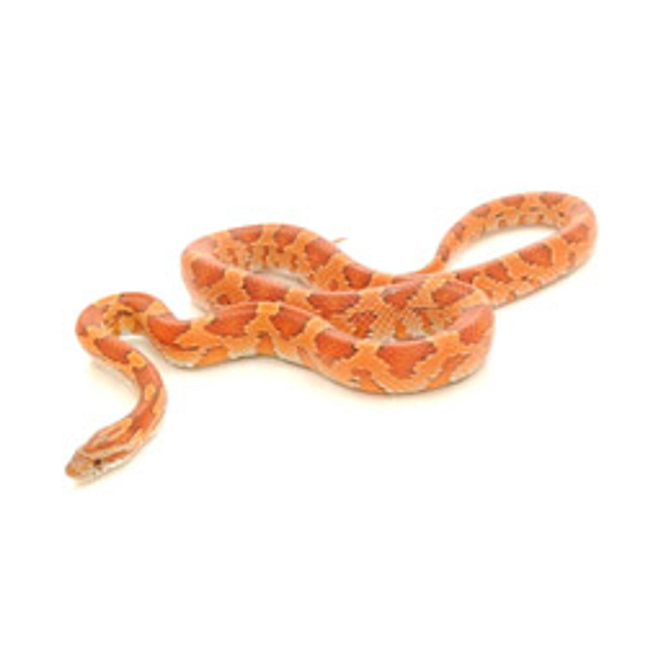 Corn Snake (Pantherophis guttata)