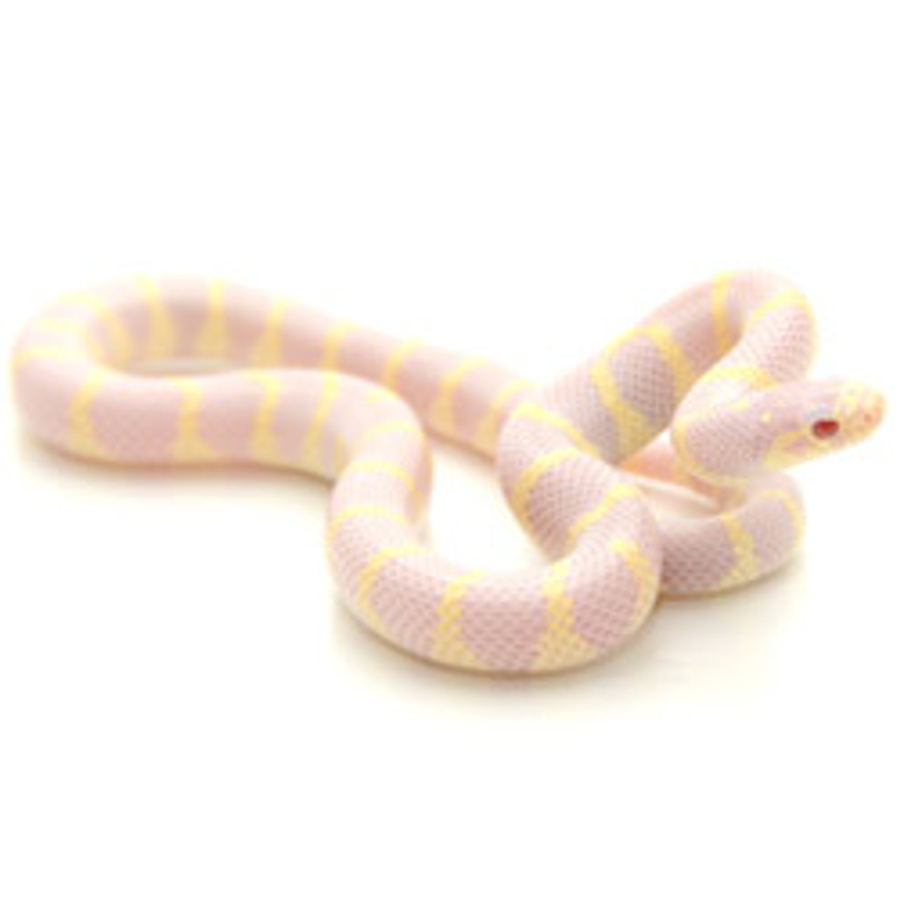 Albino Banded California King Snake (Lampropeltis getula)