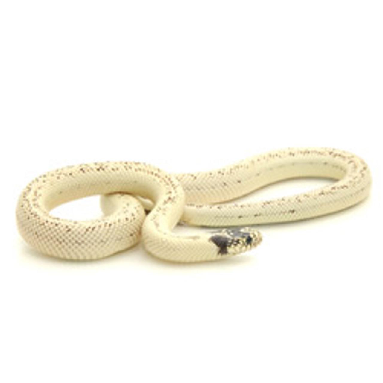 Banana California King Snake (Lampropeltis getula)