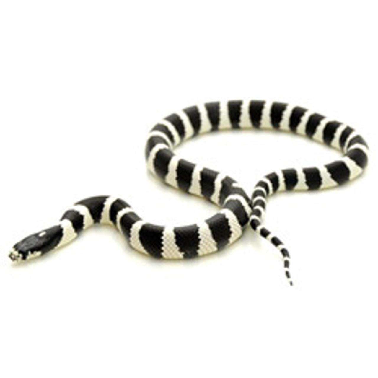 Banded California King Snake (Lampropeltis getula)