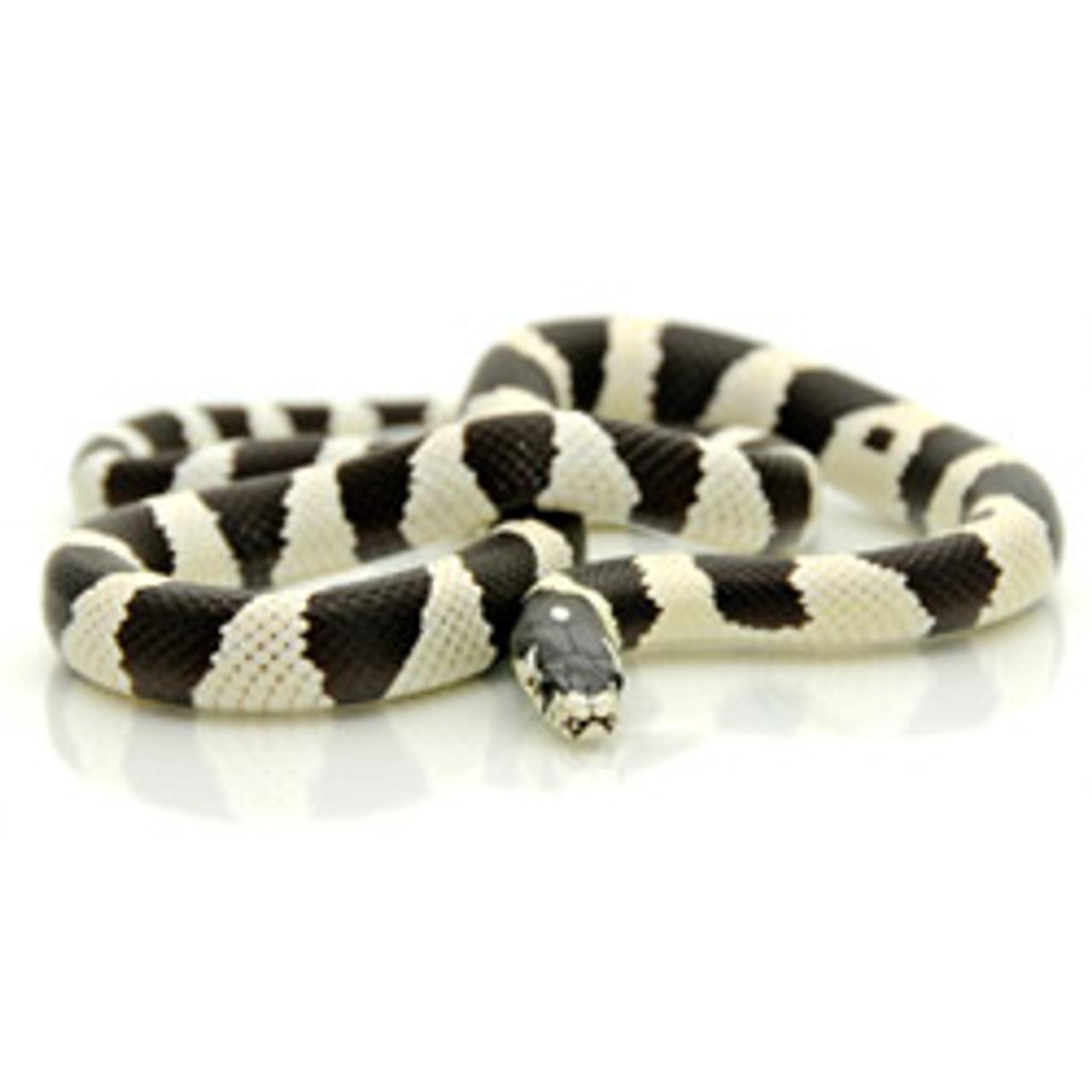 Black & White Banded California King Snake (Lampropeltis getula)