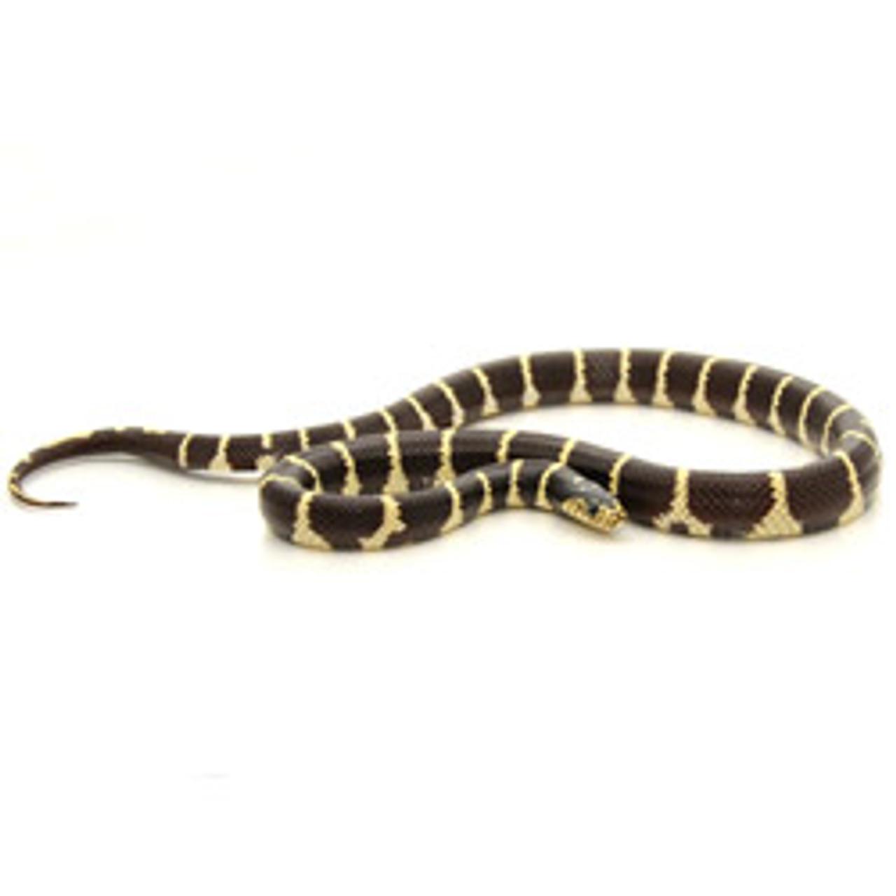 California King Snake (Lampropeltis getula)