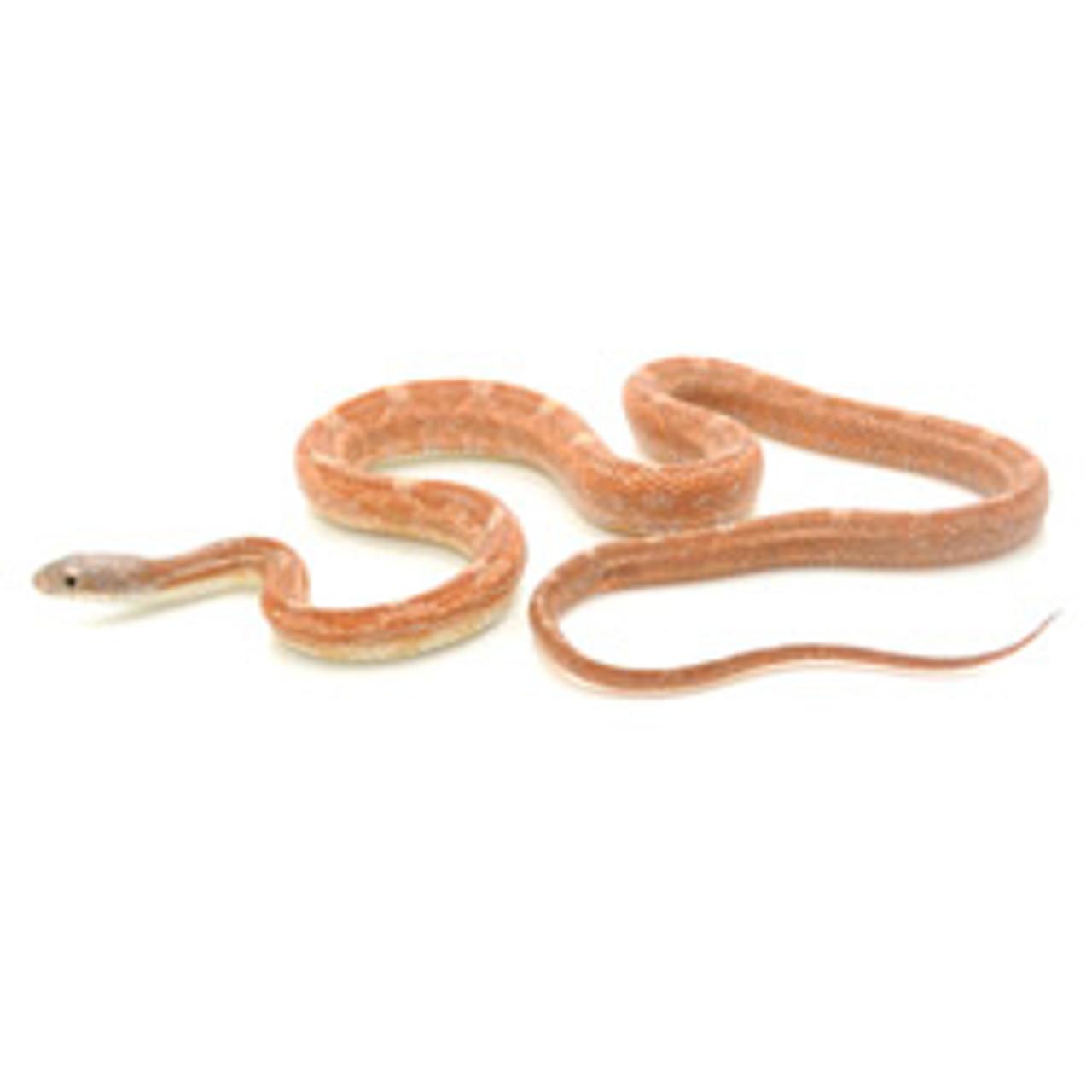 Rusty Rat Snake (Pantherophis obsoletus)