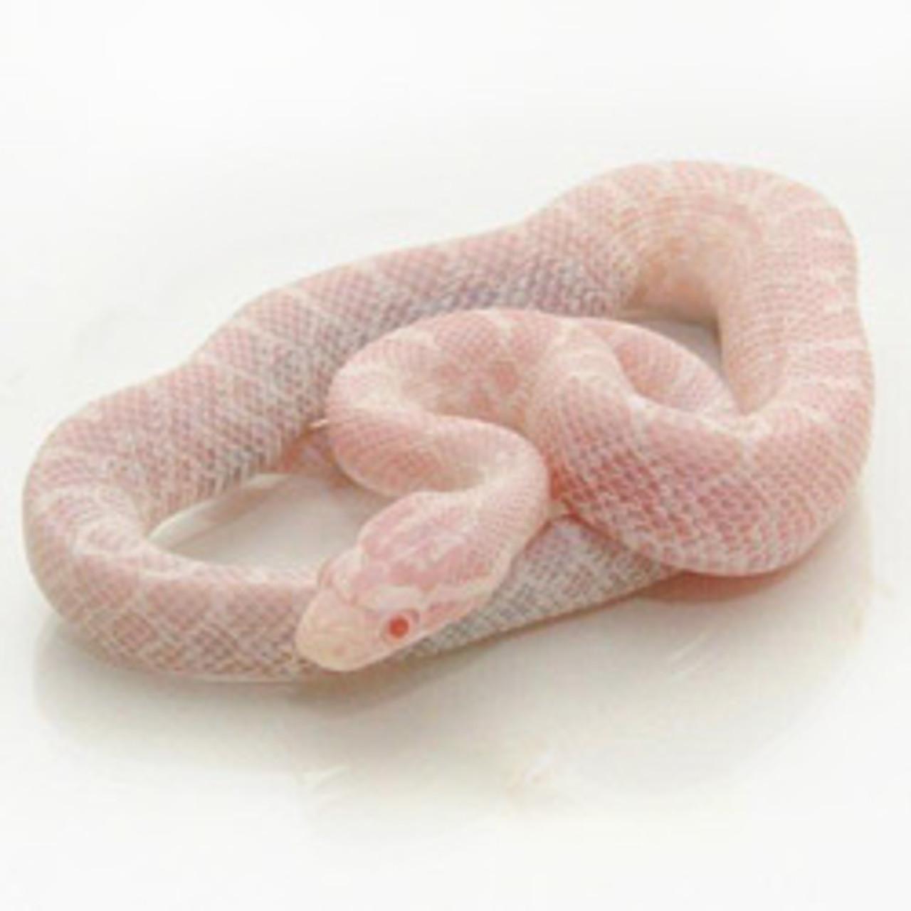 Snow Emoryi Rat snake (Pantherophis emoryi)